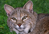 611009029 portrait of a wildlife rescue bobcat felis rufus at a wildlife rescue facility