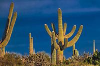 saguaro or sahuaro (Carnegiea gigantea) and pithaya. Typical columnar cactus from the Sonoran Desert, Mexico. monotípicoc is a species of greater size among the cacti .... KEY WORDS: valley, cactus forest, thorn bush, daylight, outdoors, nature<br /> <br /> <br /> saguaro o sahuaro (Carnegiea gigantea) y pithaya. cactus columnar típico del Desierto de Sonora, Mexico. monotípicoc es una especies de mayor porte entre las cactáceas....PALABRAS CLAVES: valle, bosque de cactus, matorral espinozo, luz de dia, outdoors, naturaleza<br /> <br /> (Photo:LuisGutierrez/NortePhoto.com)