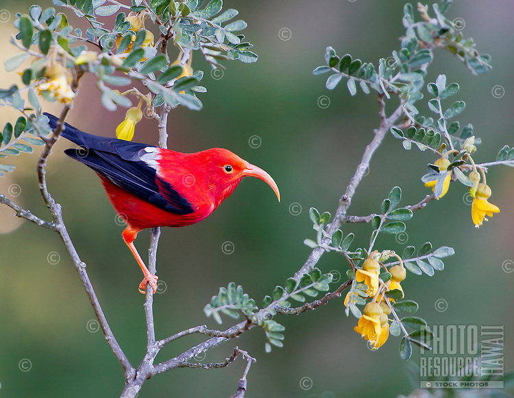 An endemic 'i'iwi or scarlet honeycreeper at Haleakala National Park, Maui.