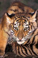 684089084 Siberian Tiger Panthera tigris altaicia CAPTIVE.ENDANGERED Wildlife Rescue.Portrait of a Cub Laying on Another Cub   Madras.Native to the High Steppe Plateaus of Central Asia