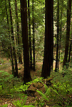California: Muir Woods National Monument redwood tree environment, near San Francisco.  Photo copyright Lee Foster.  Photo # 33-casanf80985.   .
