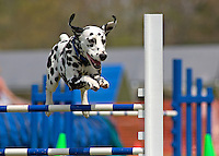Dalmatian jumping in an agility competition in Rougemont, NC