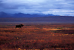A moose walks across the tundra in Denali National Park, Alaska.