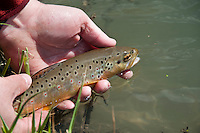 A brown trout caught on the Green River a trout stream in the Driftless Area of southwestern Wisconsin.