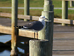 A laughing gull in winter plumage.