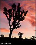 Joshua Tree Silhouette, Sunrise<br /> Joshua Tree National Park, California