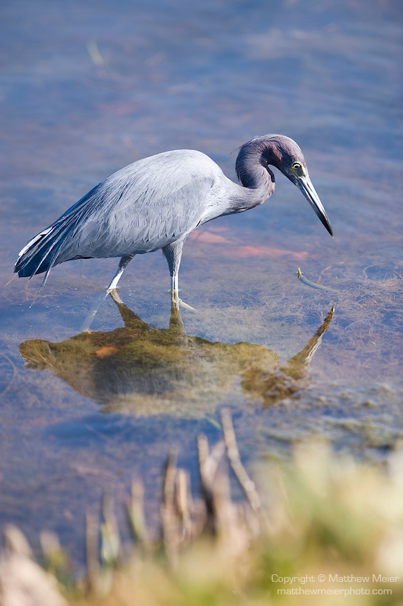 Ding Darling National Wildlife Refuge, Sanibel Island, Florida; a Little blue heron (Egretta caerulea) bird foraging for food in the shallow water near the shore of the refuge © Matthew Meier Photography, matthewmeierphoto.com All Rights Reserved