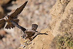 La Jolla, California; a juvenile Peregrine Falcon (Falco peregrinus) spreads its wings to protect the remains of a small bird from its sibling who is flying in attempting to steal the meal, while perched  on a cliff over the rocky shoreline