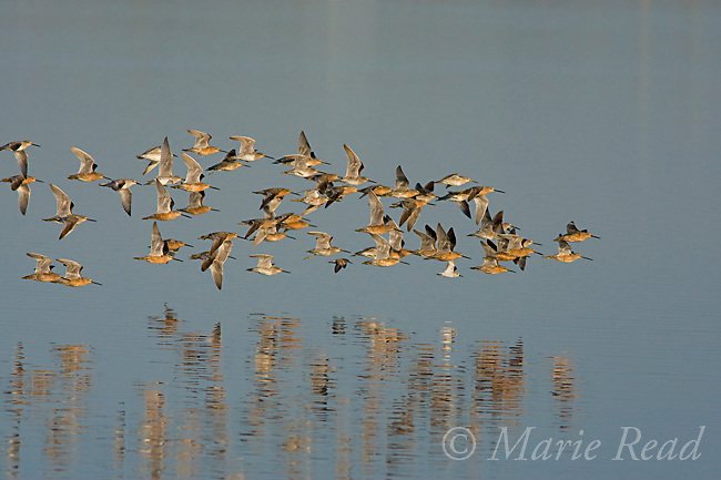 Shorebird flock, mostly Dowitchers (Limnodromus sp.), in flight, Bolsa Chica Ecological Reserve, California, USA