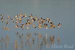 Shorebird flock, mostly Dowitchers (Limnodromus sp.), in flight, Bolsa Chica Ecological Reserve, California, USA