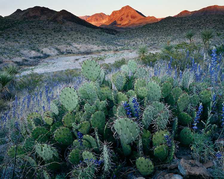 Sunset light on Pricklypear cactus and Texas Bluebonnets; Big Bend National Park, TX