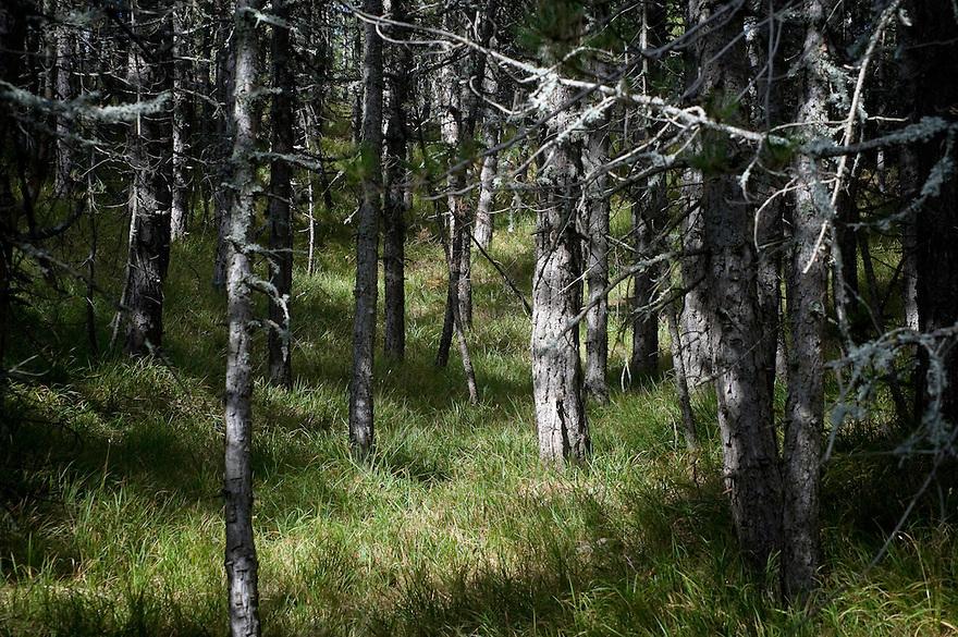 Greece, Pindos Mountains, Pindos NP, Valia Calda, Pine forest