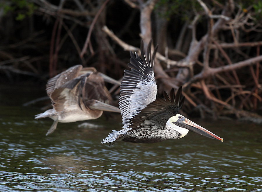 Pelicans take flight in the Florida Everglades and the ten thousand islands near Chokoloskee in Collier County, Florida. Photo/Andrew Shurtleff