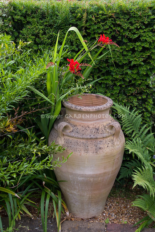 Crocosmia Lucifer and Grecian style urn garden ornament against hedge with ferns, splash of red flowers amid greenery