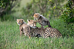 A family of cheetahs display their loving bond as the young cubs play with their mother.  Heartwarming photographs show four of the two month old cubs sticking by their mother's side.<br /> <br /> The patient adult remained attentive to their needs at the Maasai Mara National Reserve, Kenya, and looked after them by licking them clean.  SEE OUR COPY FOR DETAILS.<br /> <br /> Please byline: Fabrizio Bignotti/Solent News<br /> <br /> © Fabrizio Bignotti/Solent News & Photo Agency<br /> UK +44 (0) 2380 458800