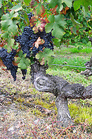 Old vine. Stony. Bunches of ripe grapes. Cabernet Franc. Chateau Belle-Garde, Bordeaux, France
