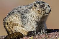 Hoary Marmot (Marmota caligata).  Western U.S., Sept.