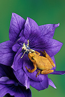 Spring Peeper frog, Hyla crucifer, on platycodon purple flower