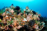 Crinoids, Crinoidea Class, Yellow Wall of Texas dive site, Horseshoe Bay, Nusa Kode, south Rinca Island, Komodo National Park, Indonesia, Indian Ocean