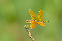 304570014 a wild male mexican amberwing perithemis intensa perches on a dead twig  in patagonia lake state park santa cruz county arizona united states