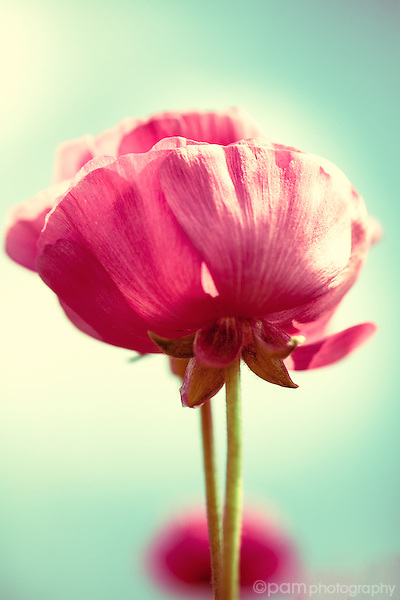 Single pink ranunculus against a turquoise sky
