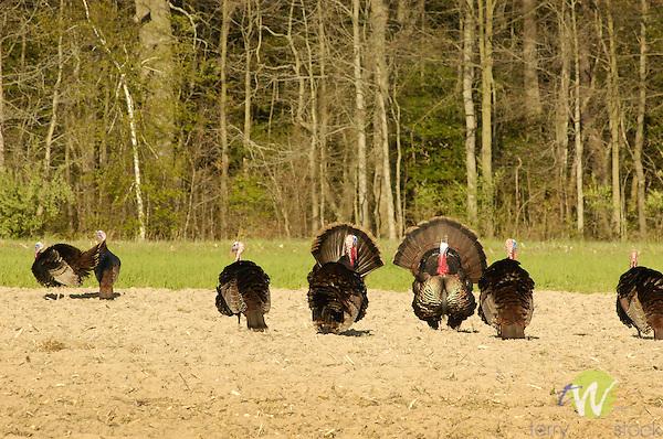 Wild turkeys in corn field.