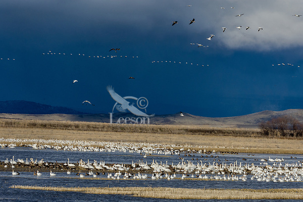 Snow Geese (Chen caerulescens), Greater White-fronted Geese and a few Tundra Swans, Lower Klamath NWR, Oregon/California.  Feb-March.