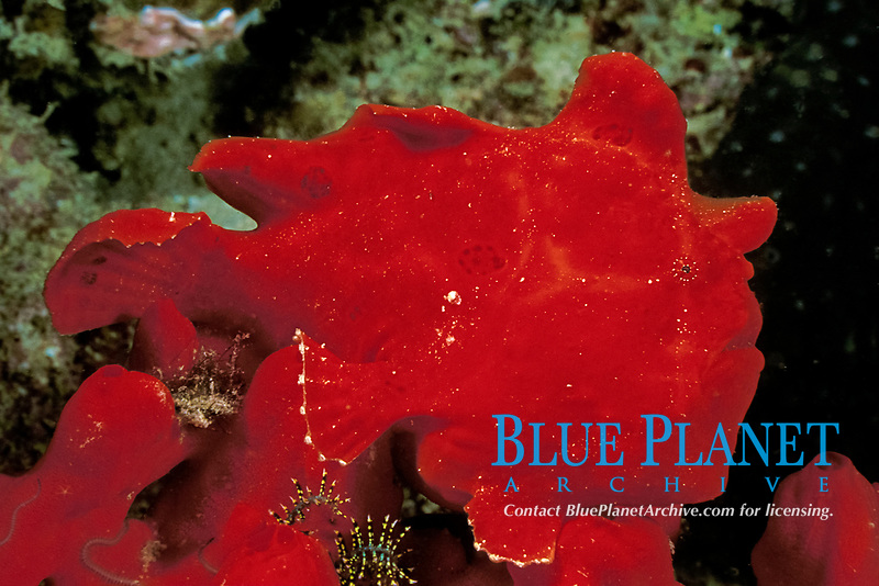 giant frogfish, Antennarius commersonii, hidden in red sponge under Sea Ventures platform off Mabul Island, Sabah, Borneo, Malaysia