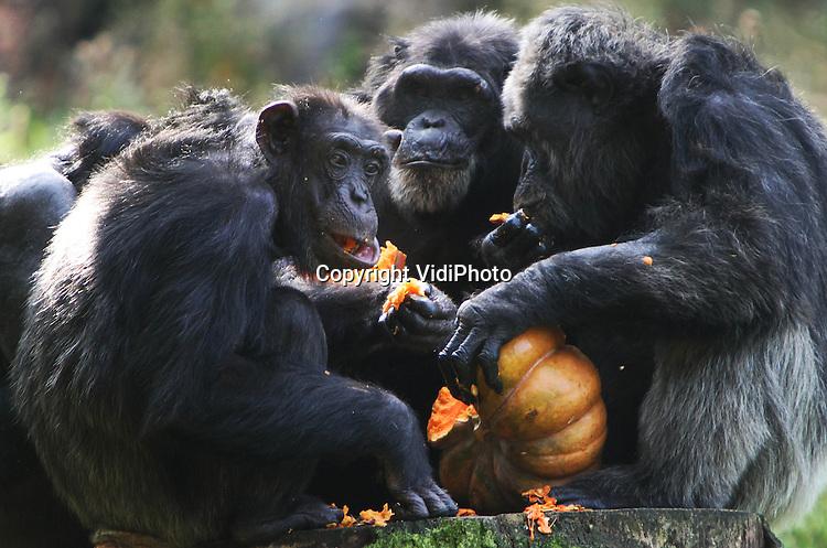 Foto: VidiPhoto..ARNHEM - De chimpanseefamilie van Burgers' Zoo in Arnhem kreeg maandag voor het eerst van hun leven pompoenen te eten. Het gezonde en zoete vruchtvlees van de muskaatpompoenen viel zichtbaar in goede aarde en de mensapen waren zelfs bereid om deze lekkernij met elkaar te delen. Burgers' Zoo probeert zoveel mogelijk gebruik te maken van seizoensproducten bij de voeding van de dieren. Nu pompoenen steeds populairder worden in Nederland als groente, profiteren ook de chimpansees daarvan. De Arnhemse dierentuin gebruikt voor de dieren dezelfde kwaliteit groenten en fruit die ook de mensen krijgen. De -best prijzige- muskaatpompoenen worden gekocht bij een groente en fruitleverancier in Den Bosch. Burgers' Zoo bezit de oudste chimpanseefamilie ter wereld in een dierentuin..