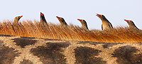 Red-billed oxpeckers are a common sight, riding on the backs of larger mammals.