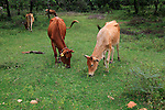 Cattle grazing at the ancient city of Polonnaruwa, Sri Lanka, Asia