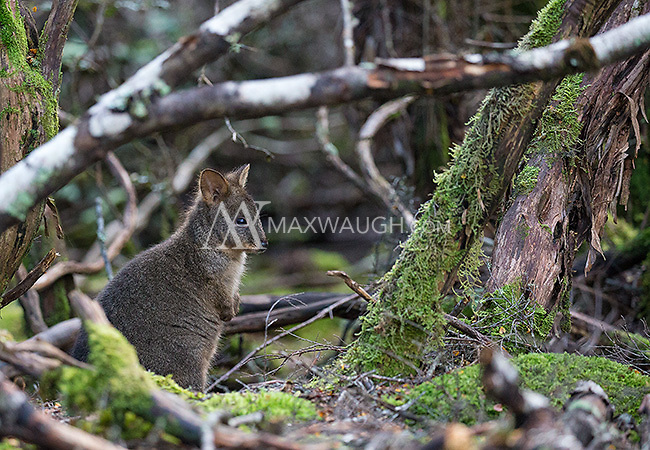 Padelemons are small, cute marsupials similar to wallabies in appearance.  The Tasmanian subspecies once existed on the mainland but is now only found in Tasmania.