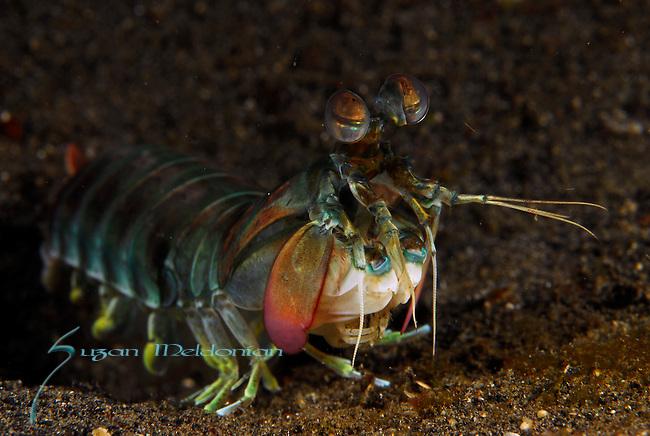 Mantis Shrimp out, Lembeh Straits, Sulawesi Sea, Indonesia, Amazing Underwater Photography