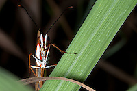 A gulf fritillary [Agraulis vanillae incarnata] rests its foreleg on a blade of lemongrass [Cymbopogon sp.].
