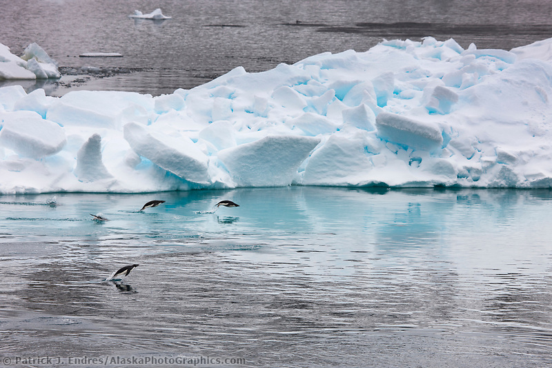Adelie penguins porpoise in the water near Paulet Island, Antarctic Peninsula.
