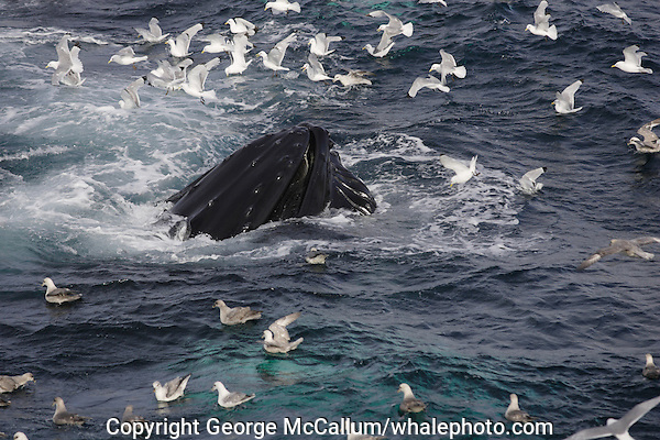 Humpback whale (Megaptera novaeangliae) bubble net feeding on Capelin and krill Spitzbergen Arctic Norway Kittywakes and Fulmars feeding alongside