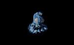 Anemone-tube dwelling larval stage