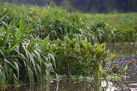 A contaminação dos lagos Bolonha e Água Preta favorece a proliferação de plantas aquáticas(macrófitas)  que criam  ilhas flutuantes cobrindo a superfície da água . Para limpeza, trabalhadores retiram as plantas e resgatam animais do Parque Ambiental de Belém..<br /> Utinga, Belém, Pará, Brasil.<br /> Foto Paulo Santos<br /> 21/03/2013