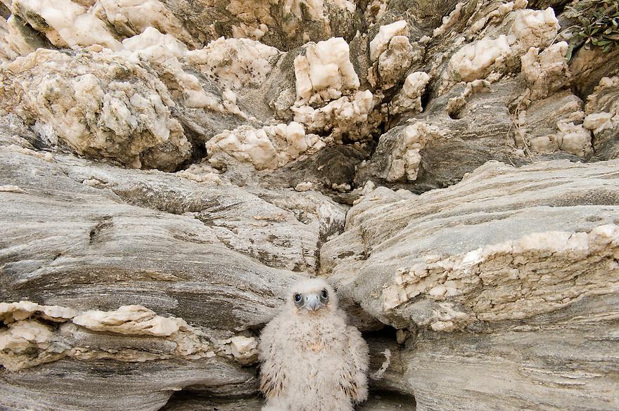 Eleonora's falcon (Falco eleonorae), Andros, Greece