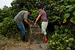 Fishing Cat (Prionailurus viverrinus) biologists, Maduranga Ranaweera and Anya Ratnayaka, setting up box trap for collaring in urban wetland, Urban Fishing Cat Project, Diyasaru Park, Colombo, Sri Lanka