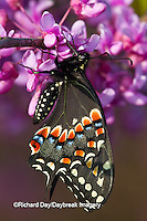 03009-01618 Black Swallowtail butterfly (Papilio polyxenes) newly emerged male on Eastern Redbud tree (Cercis canadensis) Marion County IL