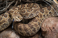 "Prairie Rattlesnake - Crotalus Viridis - Ever since I was a kid living in Montana, I've wanted to see one of these. It took four trips back as an adult, but I finally located three of these beautiful and iconic rattlesnakes in ""Big Sky Country."""