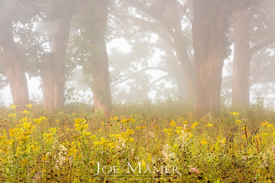 Oak savanna with wild flowers on a foggy late summer morning.