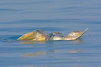 olive ridley sea turtle, Lepidochelys olivacea, vulnerable species, mating on the sea surface, Rushikulya Rookery, Ganjam Coast, Odisha, India, Bay of Bengal, Indian Ocean
