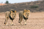Male lions (Panthera leo) on patrol in the Kalahari, Kgalagadi Transfrontier Park, Northern Cape, South Africa, February 2016