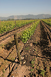 Chile Wine Country: Vineyard at Undurraga Winery, Vina Undurraga, near Santiago..Photo #: ch426-32827..Photo copyright Lee Foster, 510-549-2202, www.fostertravel.com, lee@fostertravel.com.