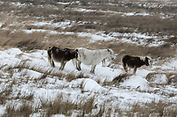 WEATHER PICTURE WALES<br /> Pictured: Three ponies on common by the A4059 between Penderyn and Storey Arms, Brecon Beacons in south Wales, UK. Friday 02 March 2018<br /> Re: Beast from the East and Storm Emma has been affecting most parts of the UK.