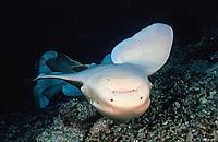 courtship of zzebra shark, Stegostoma fasciatum, male bites female, Sipadan Island, Malaysia, Borneo, Pacific Ocean
