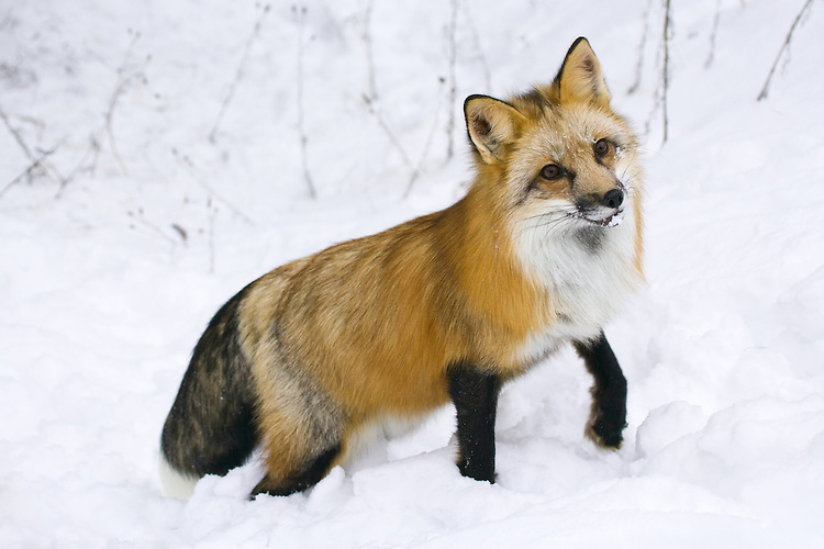 Red Fox watching quizically while standing in the snow - CA