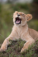Young male lion on a dirt mound, Masai Mara, Kenya.